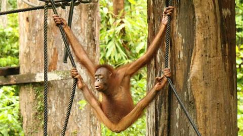 Outdoor Nursery of Sepilok Orangutan Rehabilitation Center