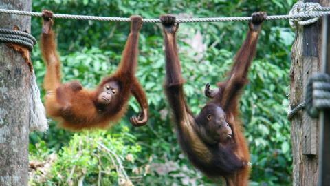 Orangutan Feeding at Sepilok Orangutan Rehabilitation Center