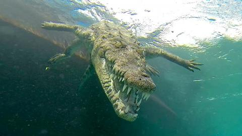 Tourists Swim Inches Away From Endangered American Crocodiles