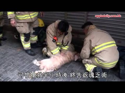 消防心肺復蘇救金毛狗 半小時唔放手