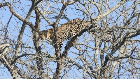 Fighting Leopard Dramatically Falls From Tree