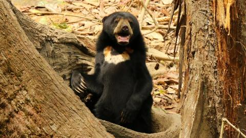 Cute Sun Bears of Borneo