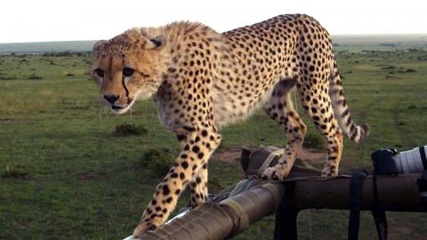 Cheetah Fail: Big Cat Falls Through Safari Jeep Roof