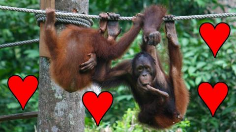 Juvenile Orangutan Practicing Sex