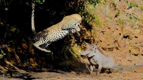 Leaping Leopard: Warthog Avoids Leopard Attack