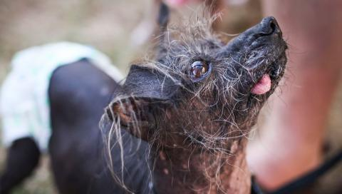 Looking Ruff: World's Ugliest Dog Contest